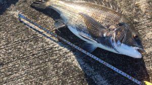 落とし込み釣り黒鯛(チヌ)の釣れる季節(時期)と習性【関西】